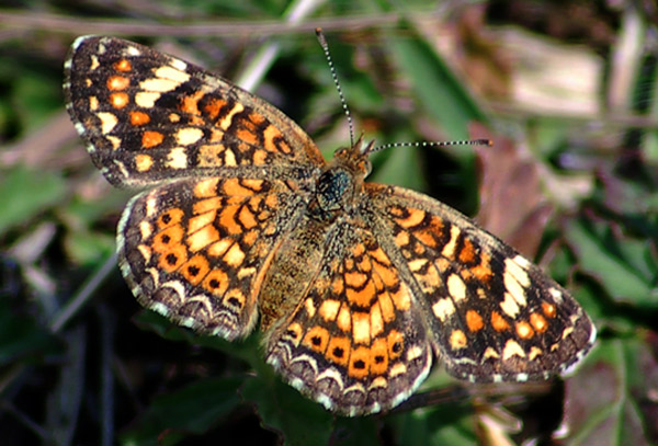 Phyciodes_pallescens1