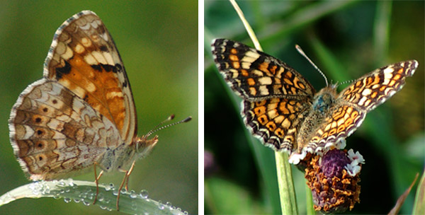 Phyciodes_pallescens2